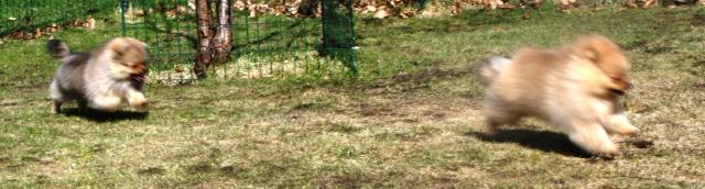 busungar