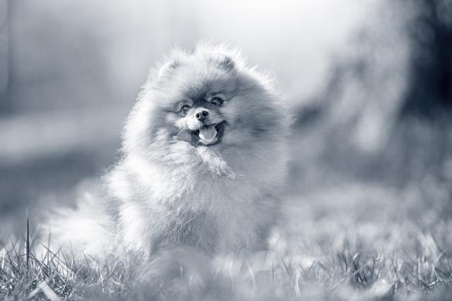 Print_AniCura_Dogs_357_Pomeranian
