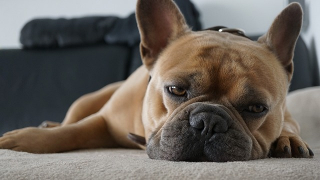 fransk_bulldog